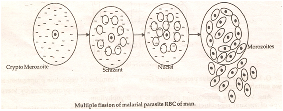 Multiple fission asexual reproduction example