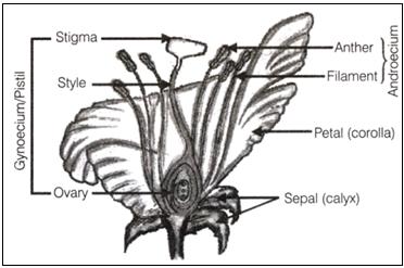 labelled diagram of flower