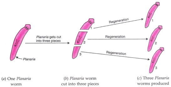 Albugo candida asexual reproduction regeneration