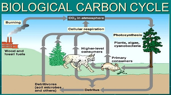 Biological Carbon Cycle