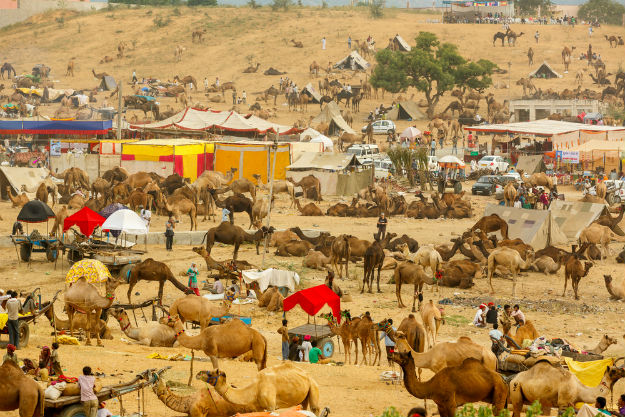 Biggest camel fair at pushkar