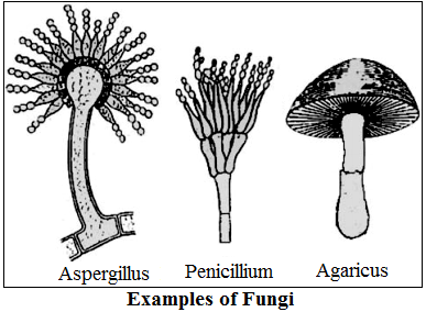 Fungai Classification Examples