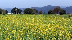 Dhara Mustard Hybrid