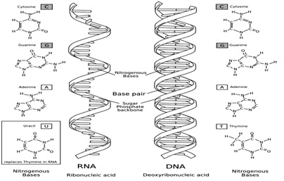 DNA deoxyribonucleic