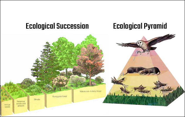 Ecological Succession and Pyramid