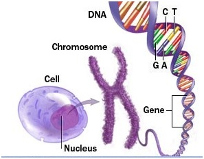 Function of DNA