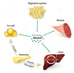 Function of insulin hormone