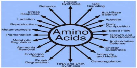 What are the functions of Amino acid in human body