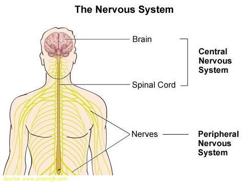 GK Quiz on Nervous System