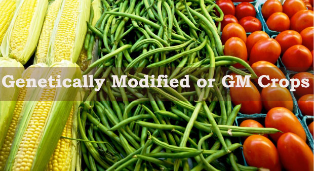 What are the advantages and disadvantages of Genetically Modified or