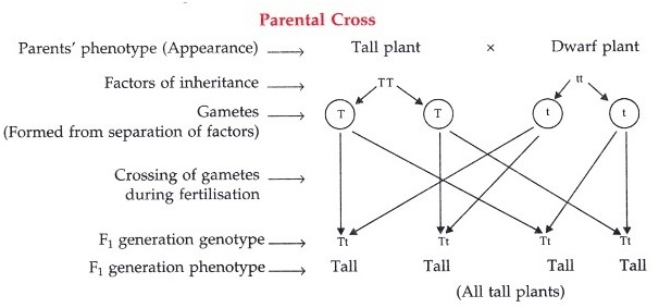 How Genetics define the hereditary characteristics of human?