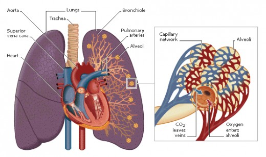Helium is helpful in cardiovascular system