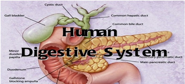 Essays About The Digestive System