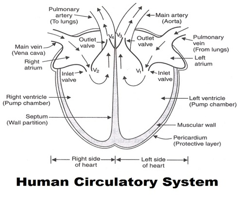 Human circulatory system these tubes carries blood are called blood vessels so there are three types of blood vessels in the human body arteries veins and capillaries fandeluxe Choice Image