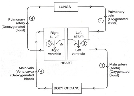 Human circulatory system the pulmonary vein brings the oxygenated blood from the lungs in to the left atrium of the heart when the muscles of all the four chambers of the heart are fandeluxe Choice Image