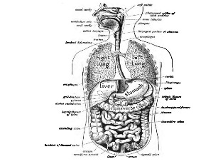 GK Questions & Answers on Science: Biology- Human Digestive