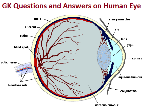 GK Questions and Answers on Human Eye