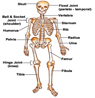 human skeletal system: structure|functions|diseases, Human Body