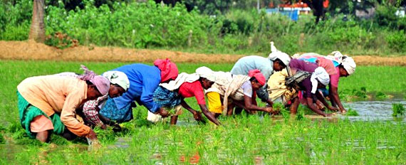 india achievement in agriculture India is predominantly an agrarian country with nearly three fourths of the people dependent on agriculture or rural economy the most outstanding achievement of indian agriculture since independence is the phenomenal growth of foodgrains output.