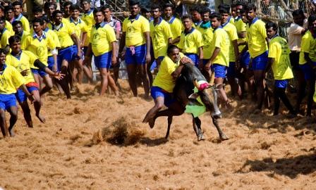 JalliKattu Banned by SC