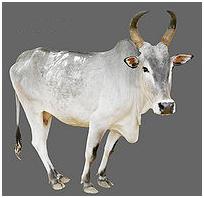 Kangayam