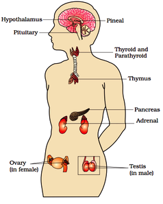 list of ductless glands present in the human body