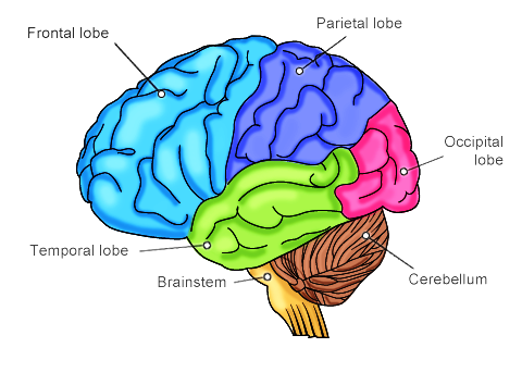 Various lobes of brain