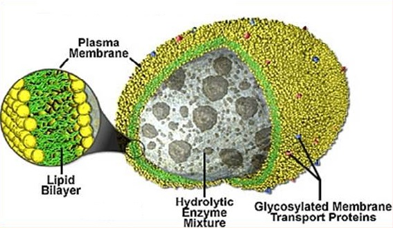 What does lysosome looks like