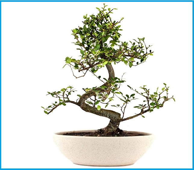 Mother's Day 2019: Gifts Ideas - Bonsai Tree