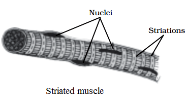 structure of striated muscle