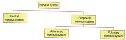 Parts of Nervous System