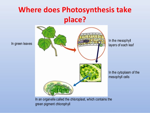 Where does photsynthesis take place