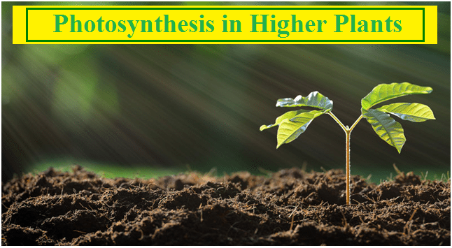 Photosynthesis in Higher Plants: NCERT Solutions