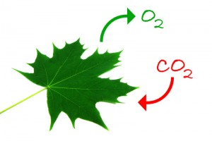 How Plants get Carbon Dioxide for photosynthesis?