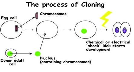 Process of cloning