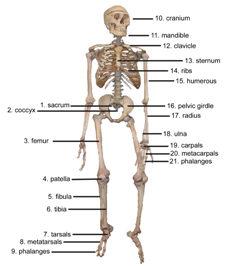 GK Quiz on Bones, Joints and Muscles