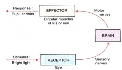 Response of Effector and Receptor