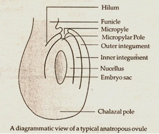 a typical anatropus ovule