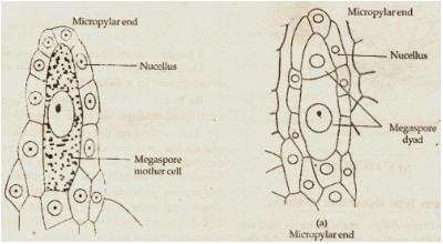 Structure of  a fertilised embryo sac of an Angiosperm