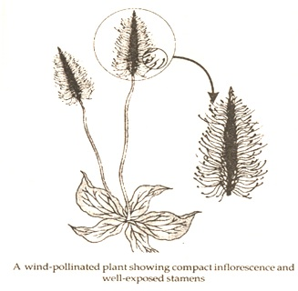 wind pollination and its effects
