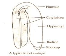 structure of typical dicot embryo
