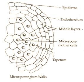 microsporangium wall formation