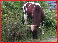 Siri Cow