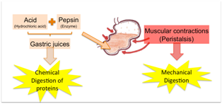 Stomach-Digestion