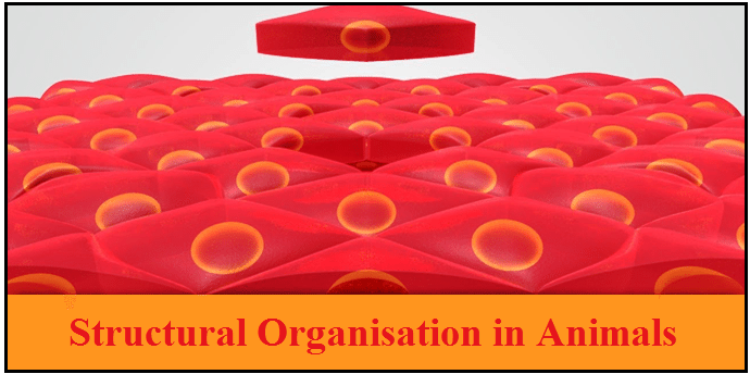Structural Organisation in Animals NCERT Solutions