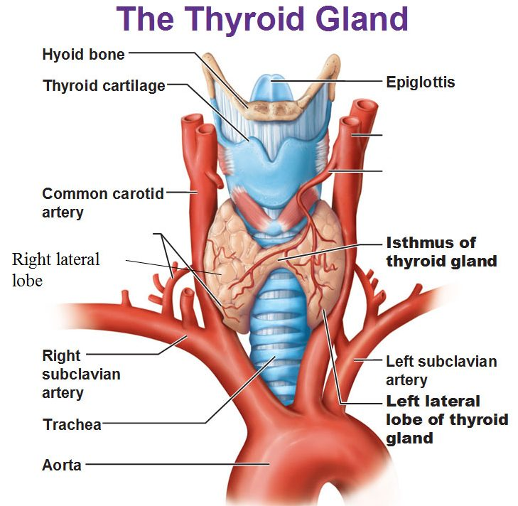 Gk Quiz On Thyroid Gland