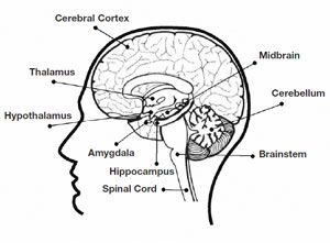 Thalamus part of the brain