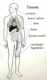 Tissue transplantation