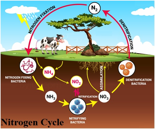 nitrogen cycle involves following processes: