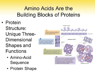 What are amino acid